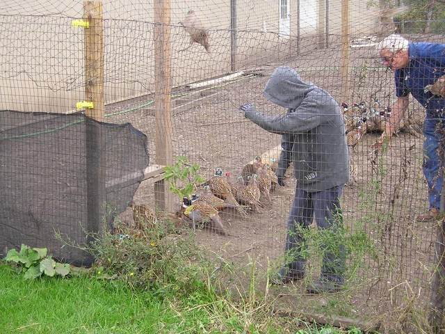 2-pheasants-2008